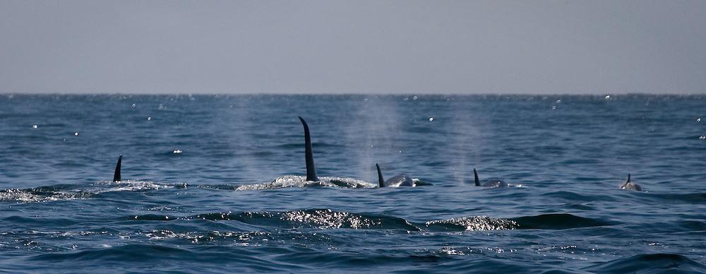 Male killer whale swimming amongst pod of female orcas, in Kenai Fjords National Park, Alaska...