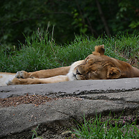 Lioness at the Pittsburgh Zoo