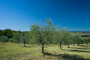 Olive trees at Pontignanello in Chianti, Tuscany, Italy RESERVED USE - NOT FOR DOWNLOAD - FOR USE CONTACT TIM GRAHAM