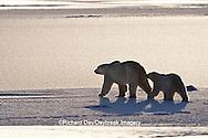 01874-12219 Polar Bear (Ursus maritimus) mother and cub near Hudson Bay  in Churchill Wildlife Management Area, Churchill, MB Canada