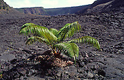 Ama'u Fern, Kialuea Iki, HVNP, Island of Hawaii<br />