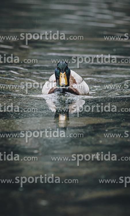 THEMENBILD - Stockenten auf einem See, aufgenommen am 25. April 2020 in Mittersill, Oesterreich // ducks on a lake in Mittersill, Austria on 2020/04/25. EXPA Pictures © 2020, PhotoCredit: EXPA/Stefanie Oberhauser