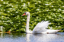 The mute swan is a species of swan and a member of the waterfowl family Anatidae.  Scene is a lake full of water lilies.