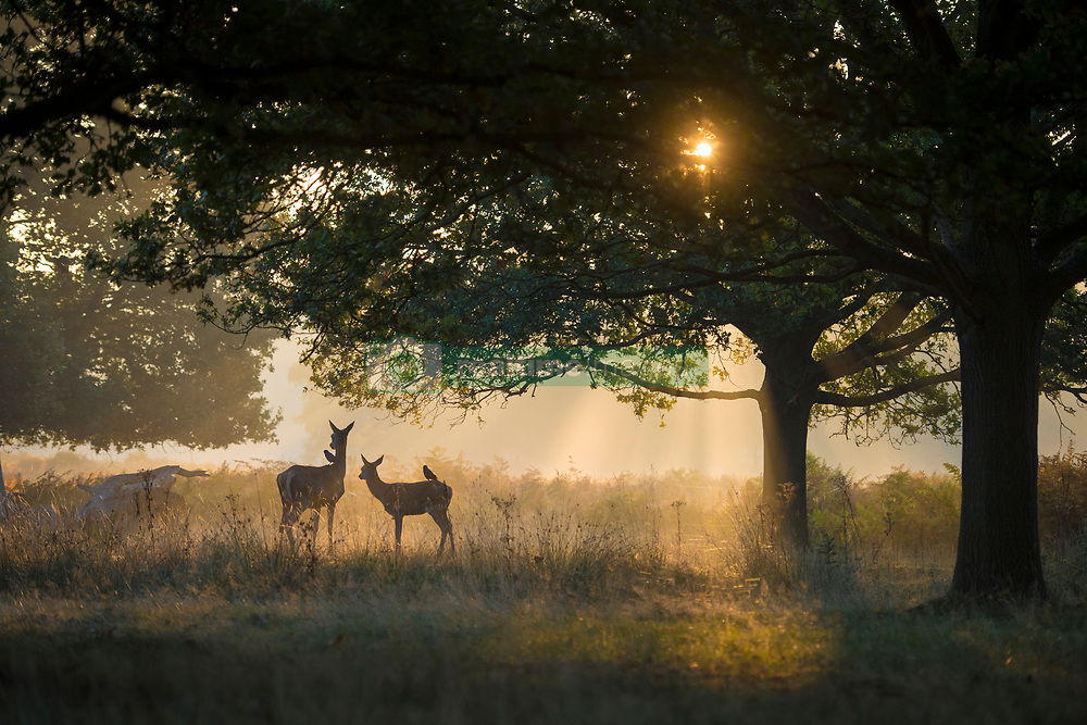 October 10, 2018 - London, United Kingdom - Deer in Richmond park pictured in the sunrise during an unusually warm autumn day where temperatures are predicted to rise to 22C, before the weather turns wet over the weekend. (Credit Image: © Ben Stevens/i-Images via ZUMA Press)