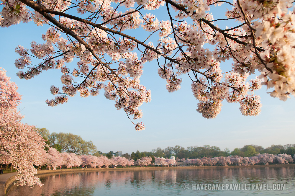 The famous cherry blossoms in bloom create a white and pink floral show ringing the Tidal Basin in Washington DC.