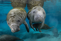 Florida manatee, Trichechus manatus latirostris, a subspecies of the West Indian manatee, endangered. January 13, 2012, a series of the documented adoption of a small female orphan manatee calf. Small female orphan manatee swims under the potential adoptive mother while the mother's older female calf gets curious. Many manatee are in the springs. Horizontal orientation with warm blue spring water on a cold day. Three Sisters Springs, Crystal River National Wildlife Refuge, Kings Bay, Crystal River, Citrus County, Florida USA.