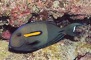 Orangeband Surgeonfish.(Acanthurus olivaceus).Hawaii