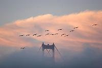 Flock of pelicans flying over the Golden Gate Bridge. Presidio of San Francisco. Golden Gate National Recreation Area. San Francisco,  CA