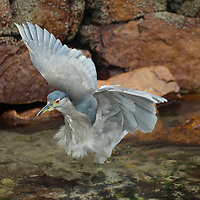 A juvenile Black-Crowned Night Heron (Nycticorax nycticorax) flies from a rock on Carcass Island in Britain's Falkland Islands.