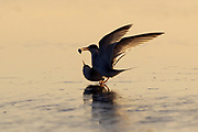 Stock Photo of least tern captured in Florida.  These birds are the smallest of the American terns.  They can be found nesting along the sandy beaches of the southern United States.
