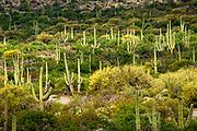 A forest of saguaro cactus in Saguaro National Park, Arizona
