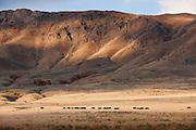A herd of Bison, Antelope Island State Park, Great Salt Lake, Utah, United States of America