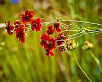 Red Plains Coreopsis. Image taken with a Nikon N1V3 camera and 70-300 mm VR lens