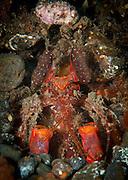 giant mantis shrimp: Lysiosquillina lisa, aka Lisa's mantis shrimp, peering from burrow, Tulamben, Bali