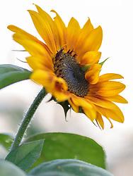 THEMENBILD - eine Sonnenblume in Nahaufnahme, aufgenommen am 12. August 2018, Kaprun, Österreich // a sunflower in closeup on 2018/08/12, Kaprun, Austria. EXPA Pictures © 2018, PhotoCredit: EXPA/ Stefanie Oberhauser