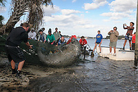 Manatee Health Assessments, Kings Bay, Crystal River, Citrus County, Florida USA. November 29, 2012 am. Researchers from several federal and state agencies work together to gather data during the manatee capture and health assessments. A netted manatee flips and splashes after being netted for data and sample acquisition. The assigned handlers are familiar with safety procedures for both the manatee and handlers. The animal is only kept out of the water for a safe, pre-determined timespan.