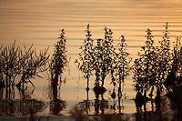 Lake-edge vegetation in sunrise light. Stenje region, Lake Macro Prespa (850m) <br /> Galicica National Park, Macedonia, June 2009<br /> Mission: Macedonia, Lake Macro Prespa /  Lake Ohrid, Transnational Park<br /> David Maitland / Wild Wonders of Europe