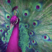 India blue peacock displaying special-occasion feathers in fantasy colors. Painted effects blended with original photograph.