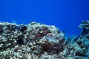 hunting coalition of blue goatfish or gold-saddle goatfish, Parupeneus cyclostomus, with bluefin jacks or omilu or bluefin trevally, Caranx melampygus, and a whitemouth moray eel, Gymnothorax meleagris, Kohanaiki, North Kona, Hawaii ( the Big Island ), USA ( Central Pacific Ocean )