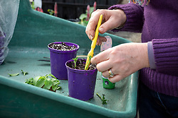Taking cuttings from petunia tot plants. Planting cuttings around edge of pot.