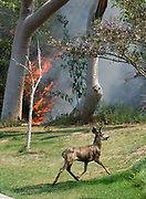 A deer runs away from a brushfire, Sunday, Sept. 3, 2017, in Burbank, Calif. Several hundred firefighters worked to contain a blaze that chewed through brush-covered mountains, prompting evacuation orders for homes in Los Angeles, Burbank and Glendale.(Photo by Ringo Chiu)<br /> <br /> Usage Notes: This content is intended for editorial use only. For other uses, additional clearances may be required.