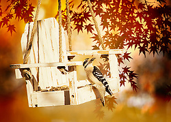 A small downy woodpecker visits my feeder under warm autumn foliage