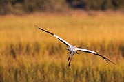 Woodstork flying over marsh