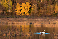 A Tundra swan and two Mallard ducks feed in a pond of autumn color.