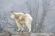 A female mountain goat (Oreamnos americanus) in the fog above Ingalls Lake, Alpine Lakes Wilderness, Washington.