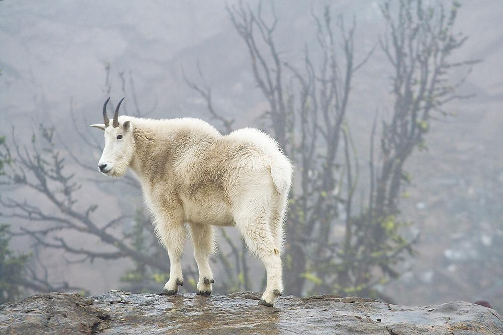 A female mountain goat (Oreamnos americanus) in the fog above Ingalls Lake, Alpine Lakes Wilderness, Washington.