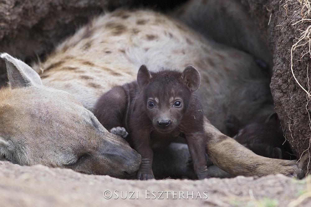 Spotted Hyena<br /> Crocuta crocuta<br /> 23 day old cub(s) in den with mother<br /> Masai Mara Conservancy, Kenya