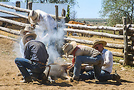 branding and castrating a calf