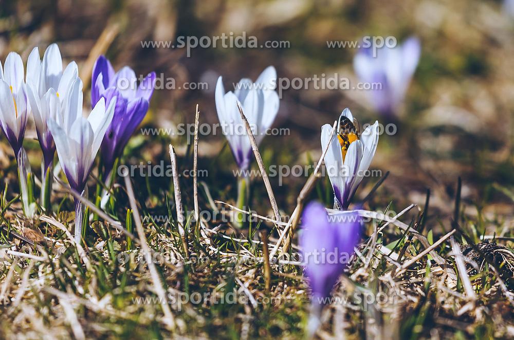 THEMENBILD - eine Biene sammelt Nektar im Blütenkelch eines weißen Krokus (Iridaceae), der auf einer Wiese blüht, aufgenommen am 30. März 2019, Kaprun, Österreich // a bee collects nectar in the calyx of a white crocus (Iridaceae) that blooms on a meadow on 2019/03/30, Kaprun, Austria. EXPA Pictures © 2019, PhotoCredit: EXPA/ Stefanie Oberhauser
