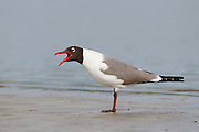 Stock Photo ofLaughing Gull captured in Florida.  A common gull in the A tlantic and Gulf coasts, it's numbers have declined due to habitat destruction.
