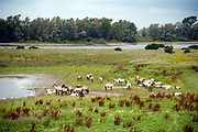 Nederland, the netherlands, kekerdom, 31-7-2019 Een groep wilde konikpaarden, koniks, paarden, staan bij een bijna uitgedroogde poel,waterpoel, in de uiterwaarden van de rivier de Waal, Rijn . De aanhoudende droogte en warmte zorgt opnieuw voor een probleem met het water. Foto: Flip Franssen