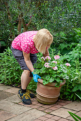 Placing a terracotta pot of geraniums on a patio for the summer