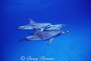 subadult Atlantic spotted dolphins, Stenella frontalis, White Sand Ridge, Little Bahama Bank, Bahamas ( Western North Atlantic Ocean )