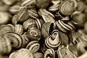 snal shells sepia toned,horizontal