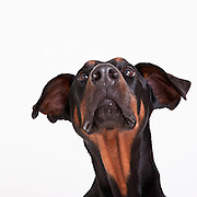 Smokie the Doberman Pinscher photographed while he was waiting to be adopted from the Benton-Franklin Humane Society in Kennewick, WA.  Neither his ears and tails are cropped.  Dog photography by Michael Kloth.