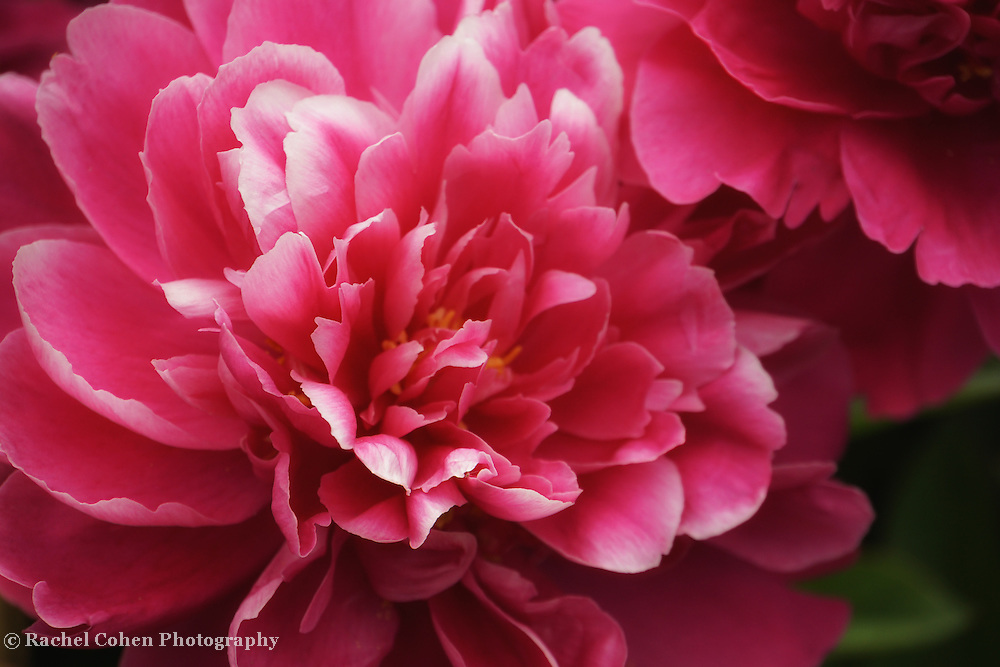 """""""Welcome to Spring""""2<br /> <br /> Wonderful deep pink Peonies! So soft and lovely!"""