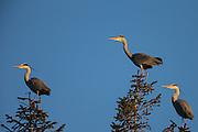 Grey Herons in top of a tre | Gråhegrer i toppen av et tre
