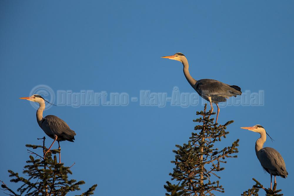 Grey Herons in top of a tre   Gråhegrer i toppen av et tre