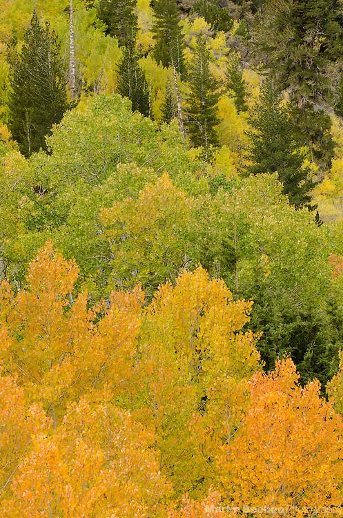 Quaking aspen (Populus tremuloides), fall, Green Creek area, Toiyabe National Forest, California
