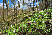 """A multitude of blooming spring flowers including common hepatica (Hepatica nobilis), wood anemone (Anemone nemorosa), fumewort (Corydalis solida) and unspotted lungwort (Pulmonaria obscura) in undergrowth of broadleaved forest on slopes of river Ruņa, nature reserve """"Ruņupes ieleja"""" (dabas liegums """"Ruņupes ieleja""""), Kurzeme, Latvia Ⓒ Davis Ulands 