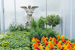 Angel statue with cockscomb flowers in garden centre, Augsburg, Bavaria, Germany