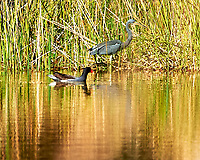 Common Gallinule (Gallinula galeata) and Tricolored Heron<br /> (Egretta tricolor). Sawgrass Lake Park. Pinellas County, Florida. Image taken with a Nikon D700 camera and 300 mm f/2.8 VR lens and 1.7x TC-E teleconverter.