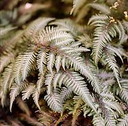 fern plant detail