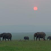 African elephant (Loxodonta africana) family group grazes as the sun sets, Masai Mara National Reserve, Kenya, Africa.