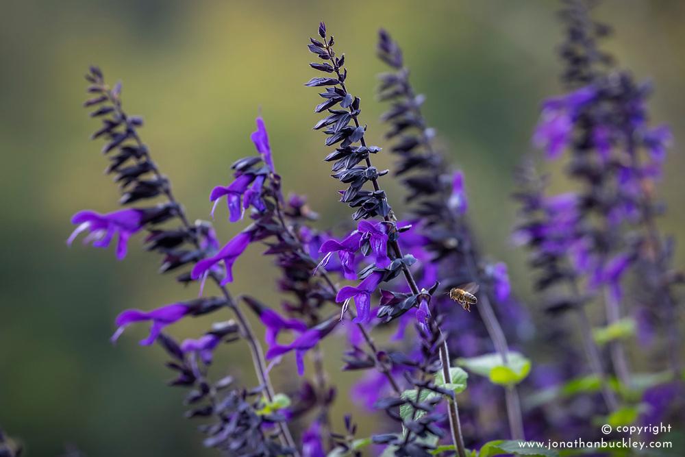 Salvia 'Amistad' with bee