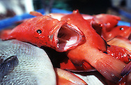 """""""Bermuda fish"""" unloaded onto the deck of a fisherman's boat at Spanish Point, Bermuda in October 1998."""